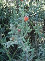 Christmas cholla, Saguaro National Park (Rincon Mountain District). (d0bcc08d-3c9f-4329-bfdd-da5144f5d7e5).jpg