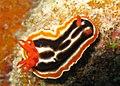 Chromodoris magnifica.jpg