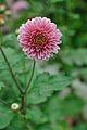 Chrysanthemum - Science City - Kolkata 2012-01-11 8031.JPG