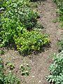 Chrysogonum virginianum - Flickr - peganum (2).jpg