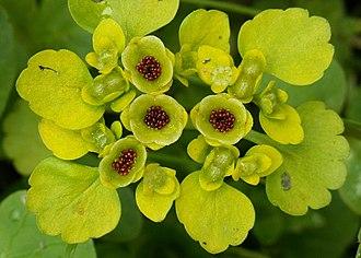 Chrysosplenium - Chrysosplenium alternifolium seeds