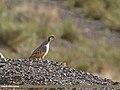 Chukar Partridge (Alectoris chukar) (27179748046).jpg