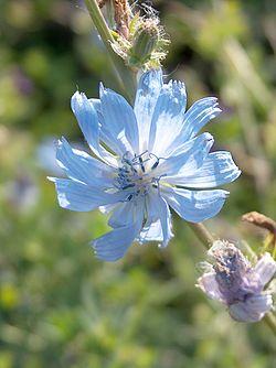 Fleur de Cichorium intybus