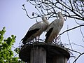 Cigognes blanches (Ciconia ciconia) (09).jpg