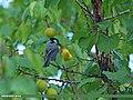 Cinereous Tit (Parus cinereus) (16065524141).jpg