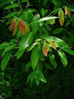 Cinnamomum verum - Image: Cinnamomum verum 002