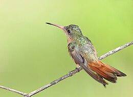 Cinnamon Hummingbird 1