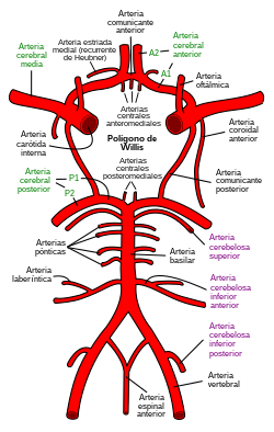 Circle of Willis es.svg
