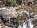 Cirsium canovirens (C. subniveum) (4045857136).jpg
