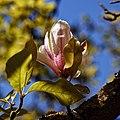 City of London Cemetery Magnolia flower 2.jpg