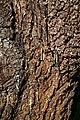 City of London Cemetery and Crematorium ~ cedar bark 03.jpg