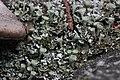Cladonia cf. fimbriata (34687232120).jpg