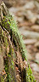 Cladonia coniocraea - gewöhliche Säulenflechte - Hesse - Germany - 01.jpg