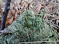 Cladonia fimbriata (02).jpg
