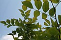 Cladrastis lutea 6zz.jpg