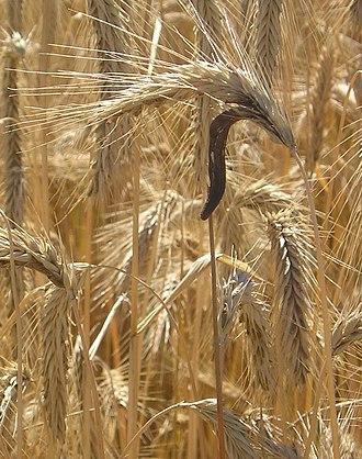 Sclerotium - Ergot sclerotia developing on wheat spikes