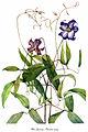 Clematis crispa, by Mary Vaux Walcott.jpg