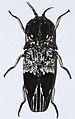 Click Beetle (Lycoreus imperialis) (8564709463).jpg