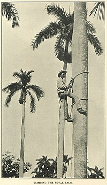 Climbing the royal palm, Extrait de : Cuba population, history and resources 1907 (p. 52 ter)