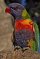 Close-up of Rainbow Lorrikeet-01 (7879088896).jpg