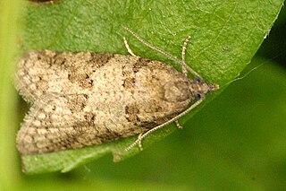 <i>Cnephasia</i> Genus of tortrix moths