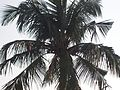 Coconut tree in India.jpg
