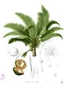 Cocos nucifera Blanco2.364.png