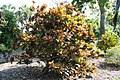 Codiaeum variegatum Stewartii 4zz.jpg