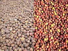 Coffee beans robusta.jpg