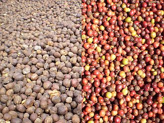 Lampung - Robusta coffee beans, a type of coffee bean produced in Lampung