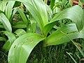 Colchicum speciosum (leaves)2.jpg