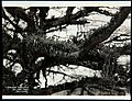 Collectie Nationaal Museum van Wereldculturen TM-60062332 Een boomtak begroeid met orchideen Trinidad fotograaf niet bekend.jpg