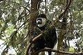 Colobus monkey at Amora Gedel Park, Hawassa (11) (28514139083).jpg