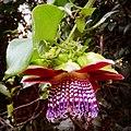 Colorido flor de maracujá.jpg