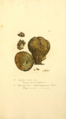 Coloured Figures of English Fungi or Mushrooms - t. 425.png