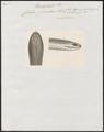 Coluber plumbeus - kop - 1837 - Print - Iconographia Zoologica - Special Collections University of Amsterdam - UBA01 IZ11900149.tif