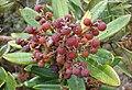 Comarostaphylis arbutoides, unripe fruit (9679360525).jpg