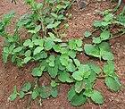 Commelina forsskalaei (Kanpet) in Hyderabad, AP W IMG 0605.jpg
