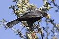 Common Blackbird - Turdus merula - Karatavuk 01.jpg