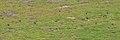 Common Chaffinches (Fringilla coelebs) - Oslo, Norway 2020-09-13.jpg