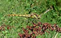 Common Darter - geograph.org.uk - 222055.jpg