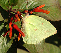 Common Emigrant, Jaipur.jpg