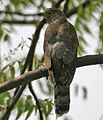 Common Hawk Cuckoo (Cuculus varius) in Hyderabad W IMG 7182.jpg
