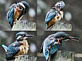 Common Kingfisher- Bathing & Preening copy.jpg