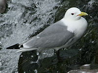 Common Kittiwake (Rissa tridactyla).jpg