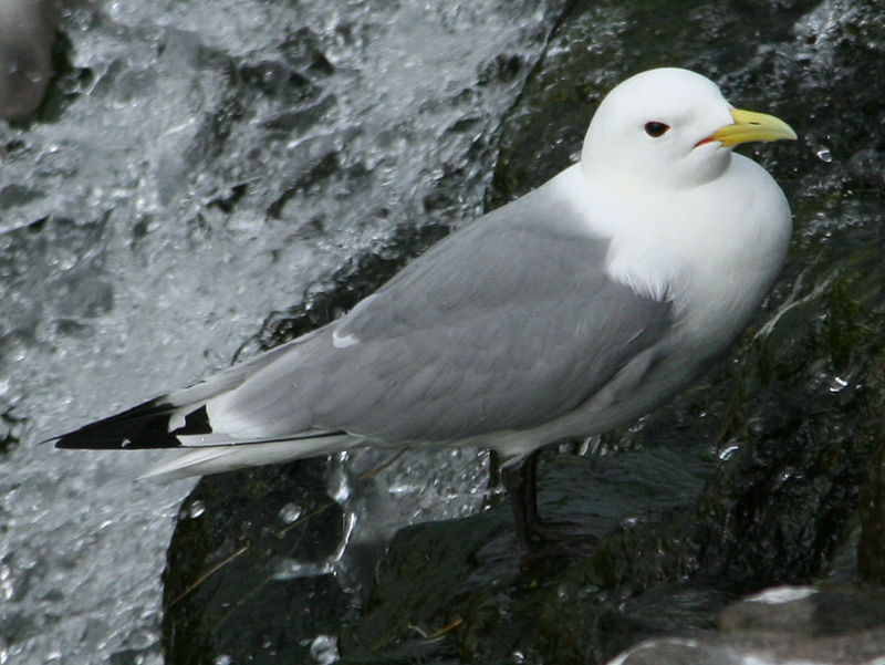https://upload.wikimedia.org/wikipedia/commons/thumb/c/ca/Common_Kittiwake_%28Rissa_tridactyla%29.jpg/800px-Common_Kittiwake_%28Rissa_tridactyla%29.jpg