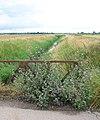 Common Mallow (Malva sylvestris) - geograph.org.uk - 1390637.jpg