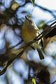 Common Newtonia - Ranomafana - Madagascar S4E8187 (15289285785).jpg
