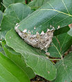 Common Tailorbird (Orthotomus sutorius) Nest in Hyderabad, AP W IMG 7245.jpg