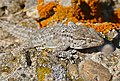 Common Wall Gecko (Tarentola mauritanica)(found by Jean NICOLAS) (36408988163).jpg